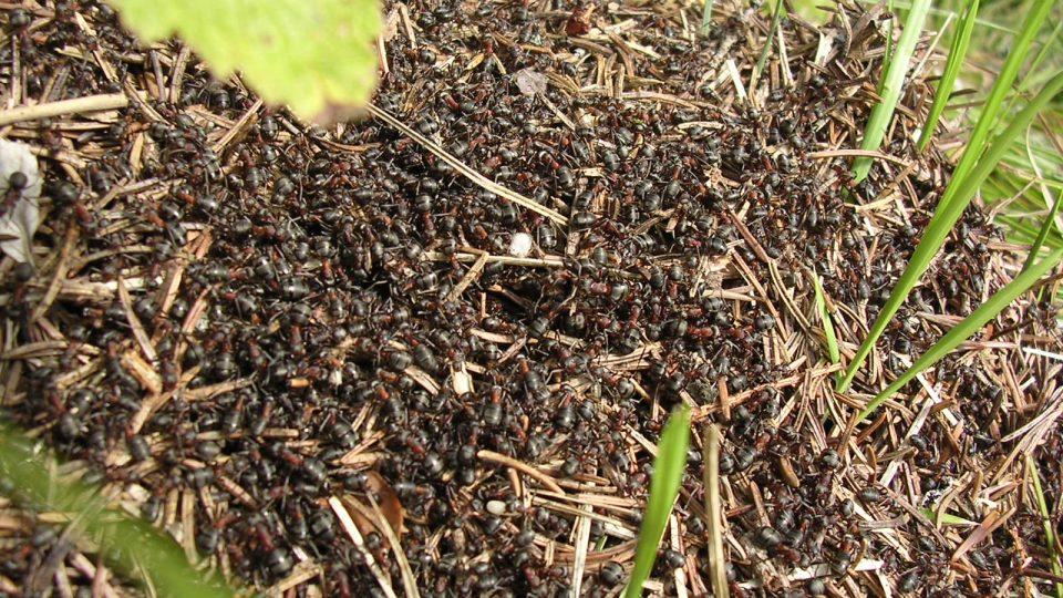 Mravenci, mravenec, mraveniště