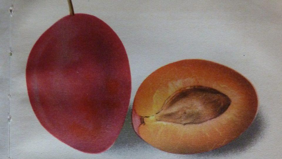 Druh slívy - foto z Vaňkovy pomologie
