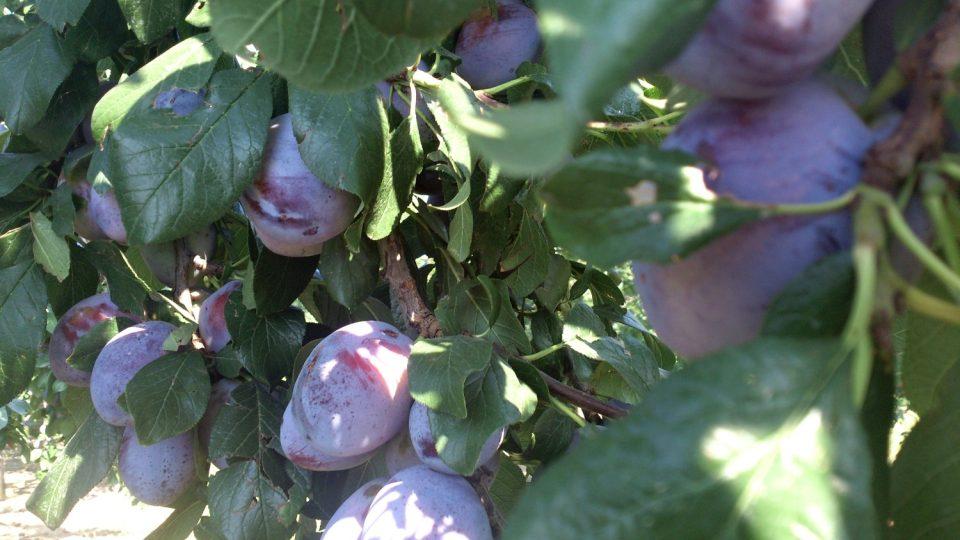 Švestka - odrůda Tophit