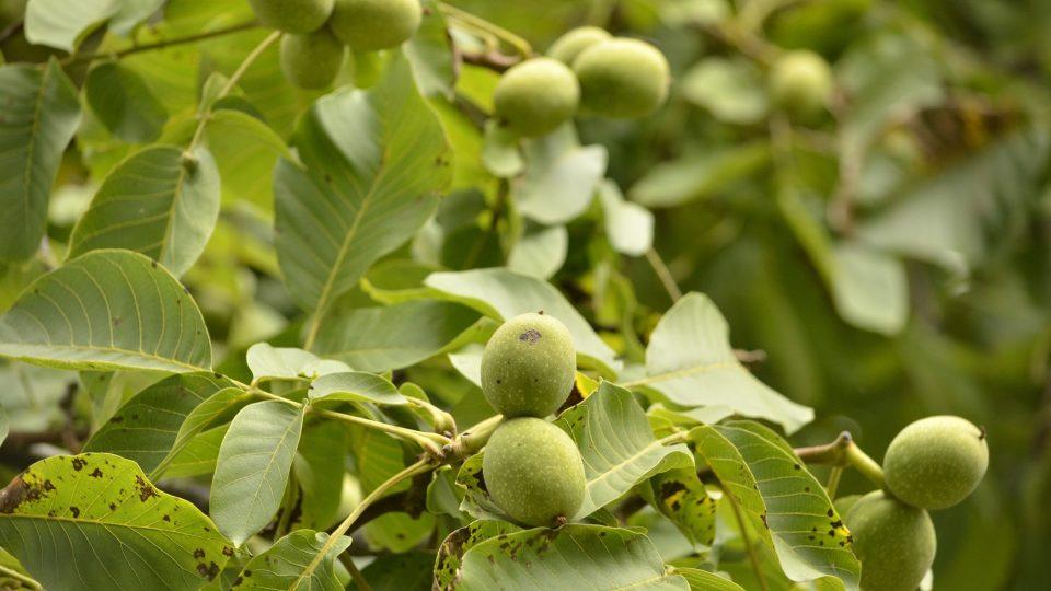 Vlašské ořechy mají vysoký obsah tuků - až 70 %