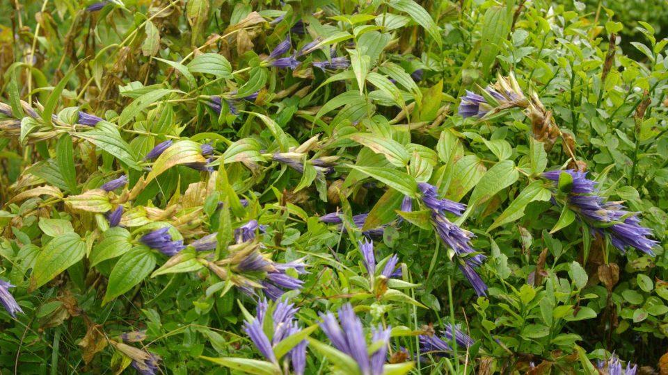 Hořec tolitovitý na podzim, erbovní rostlina Krkonošského národního parku