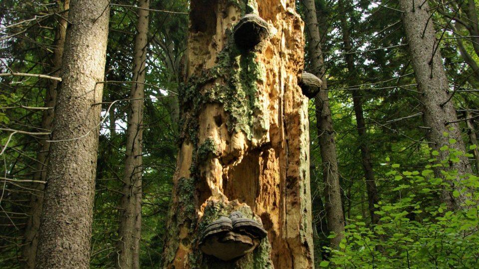 Torzo mrtvého dřeva v Kotelské jámě je základem dalšího života