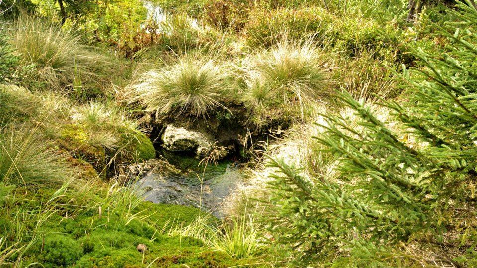 Tůňka v tzv. krkonošské zahrádce kolem které se vinou pramínky, které napájejí Kotelský potok