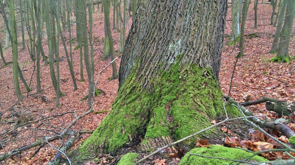 Mohutný dub