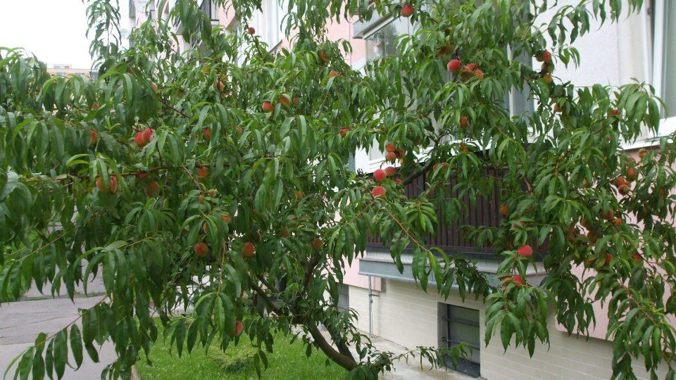 Zdravá broskvoň obsypaná plody
