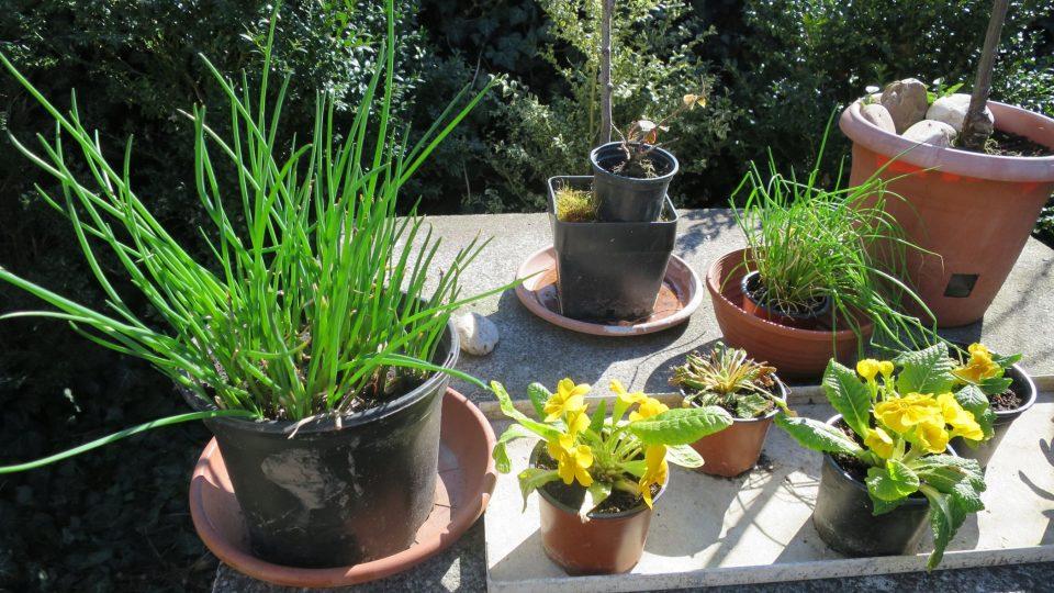 Pažitka připravená k pěstování na balkóně