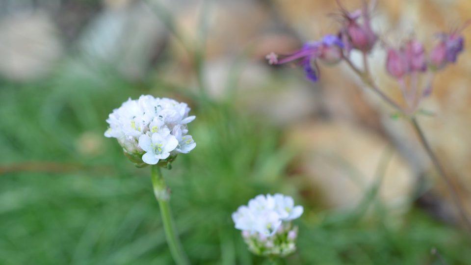 Allium, okrasný česnek