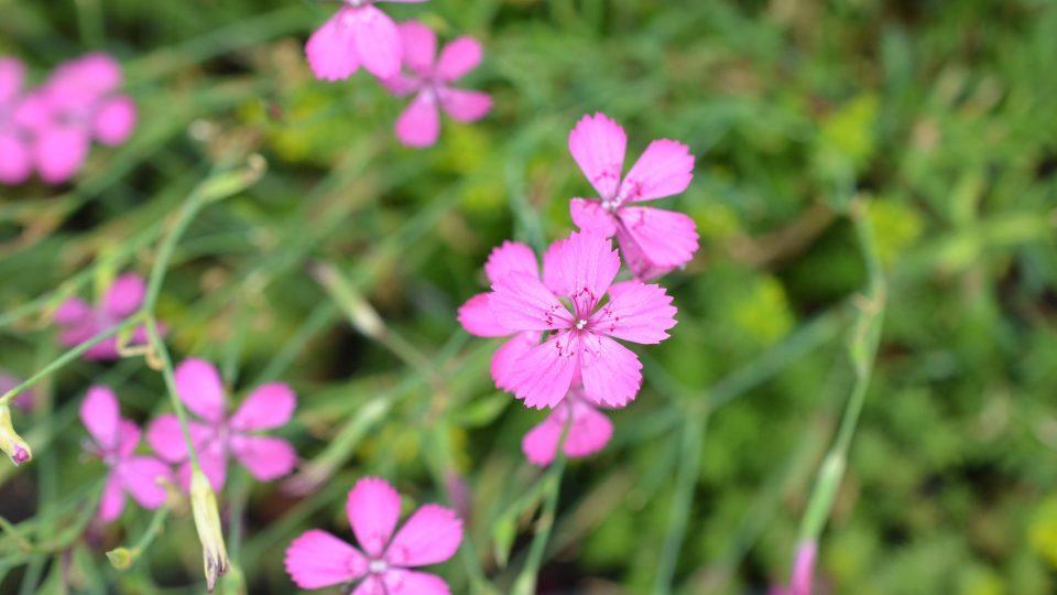 Dianthus, hvozdíky