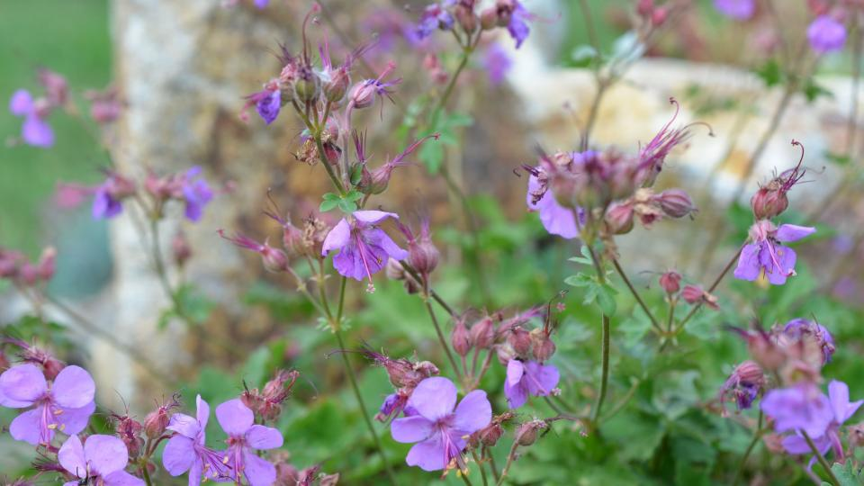 Kakost, Geranium macrorrhizum