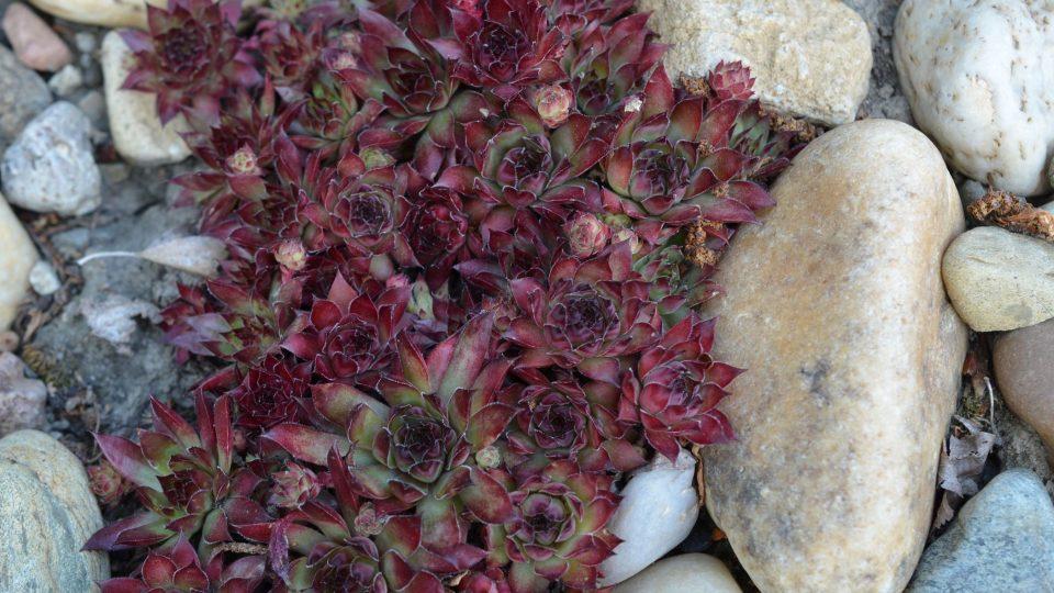 Netřesk, zahradní sukulent do skalky i na střechu