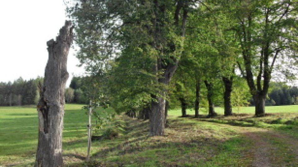 Vedle odumřelého stromu je vysazena nová lipka