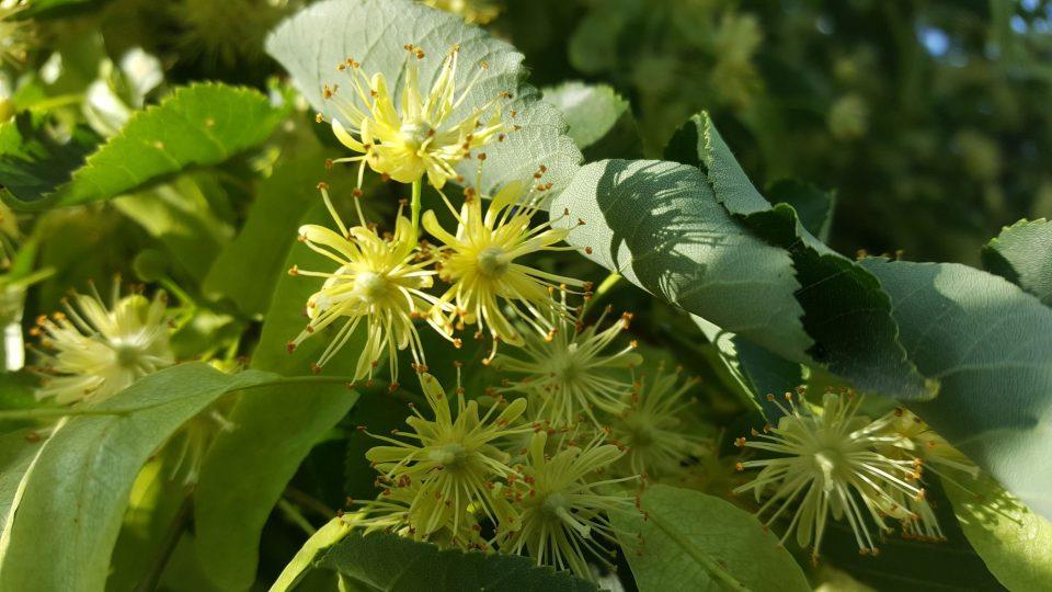 Lipový květ se sbírá na začátku kvetení, mezi 14. a 16. hodinou
