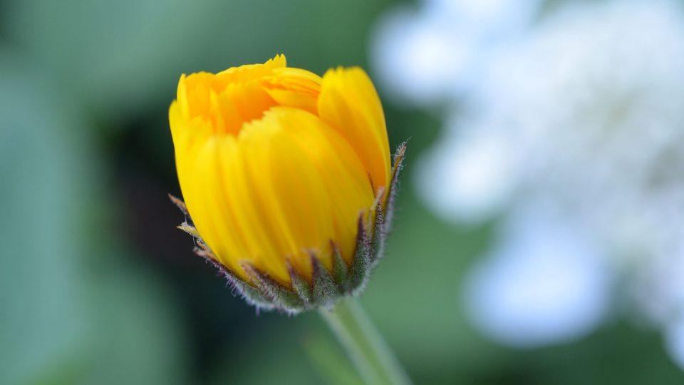 Za sucha a okolo poledne se sbírá květ měsíčku lékařského, ovšem oranžový