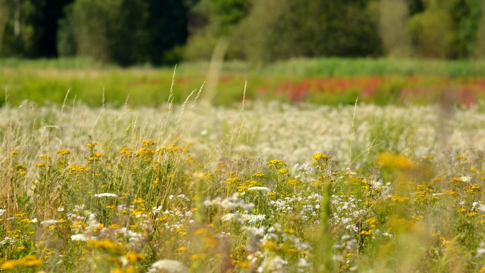 Na část trávníku můžete vysít luční směs