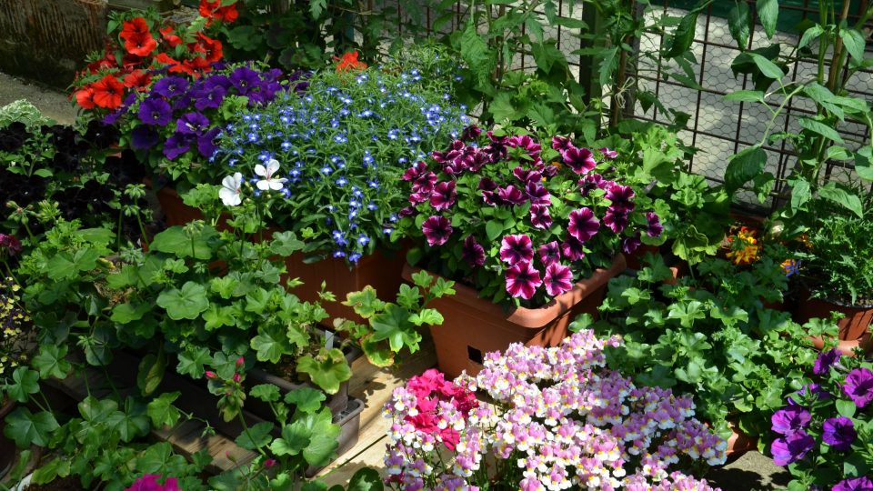 Ukázka výsadby balkonových letniček pro výstavu Květy v Lysé