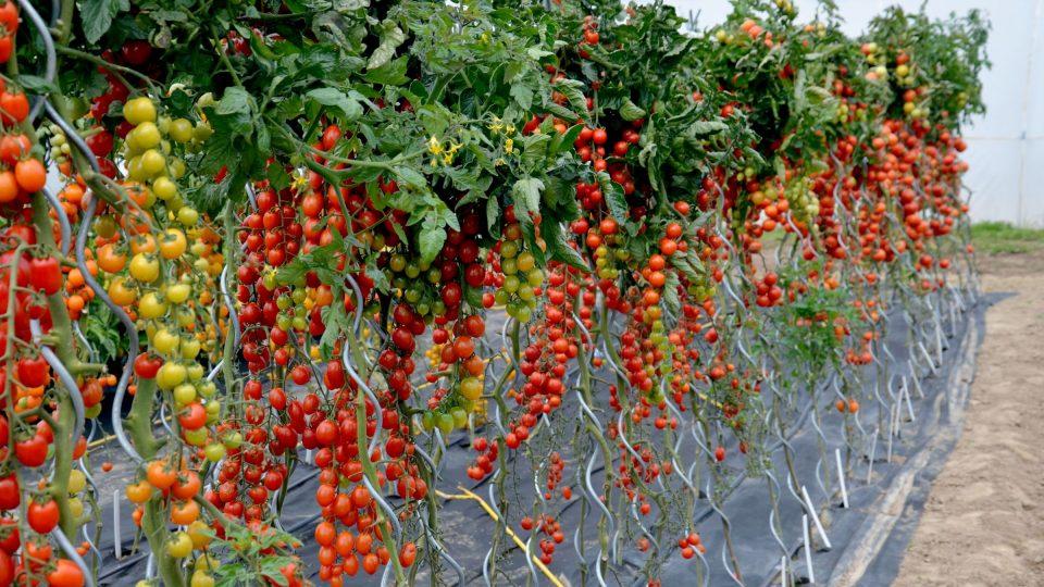 Pěstování rajčat ve velkém