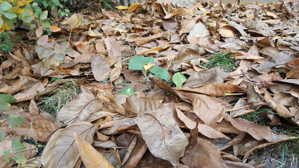 Z trávníku odstraníme i listy ořešáku