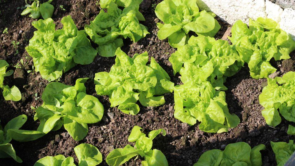 Saláty v pařeništi