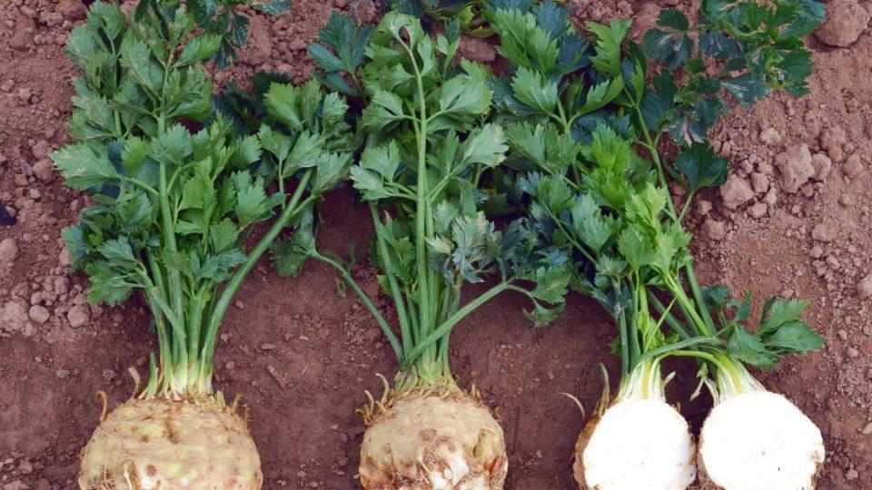Celer ze zahrady můžete přirychlit