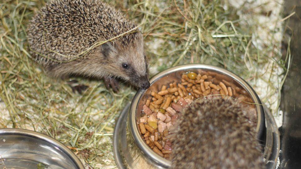 Přezimování ježků