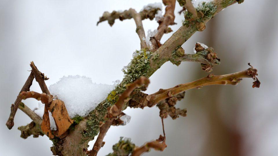 Lišejník na stromku jinanu dvoulaločného (Ginkgo biloba)