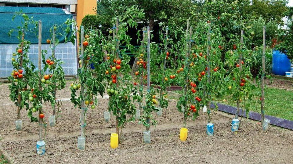PET lahve dovedou vodu ke kořenům rajčat
