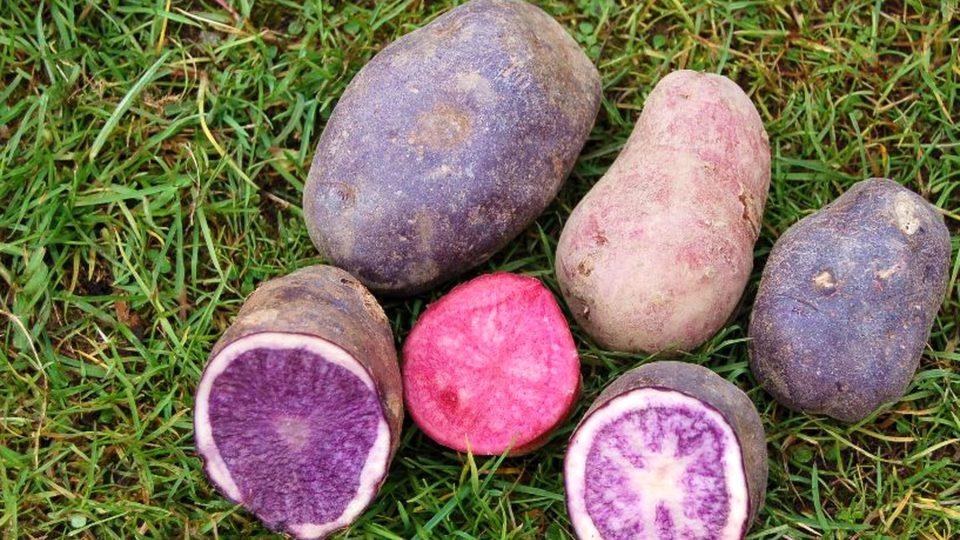 Existují i brambory s barevnou dužninou