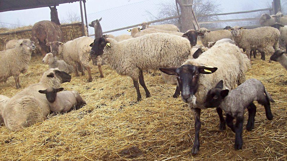 Ovce jako živá sekačka na trávu