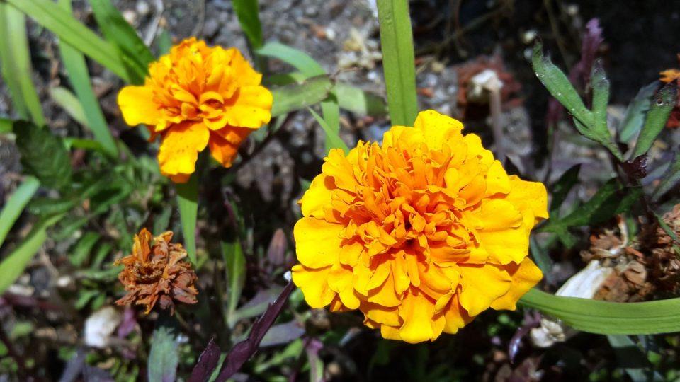 Aksamitník neboli afrikán, kvetoucí nať afrikánu s kamencem vytvoří zlatožlutou barvu