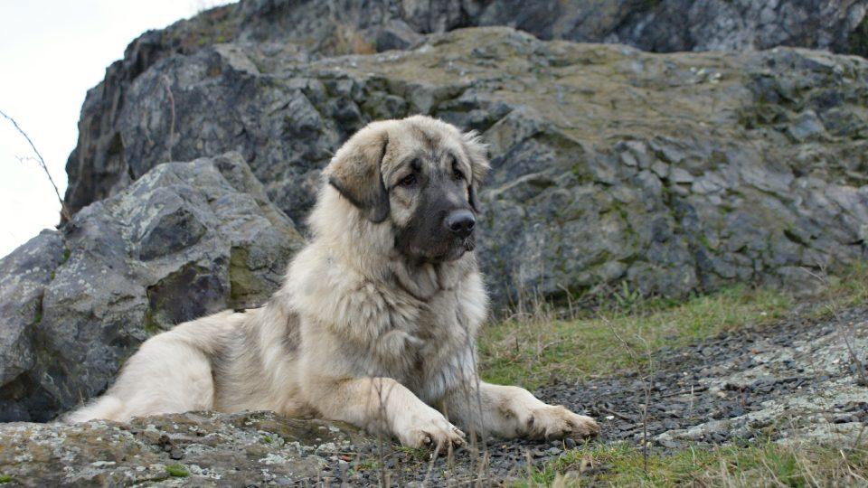 Pastevečtí psi