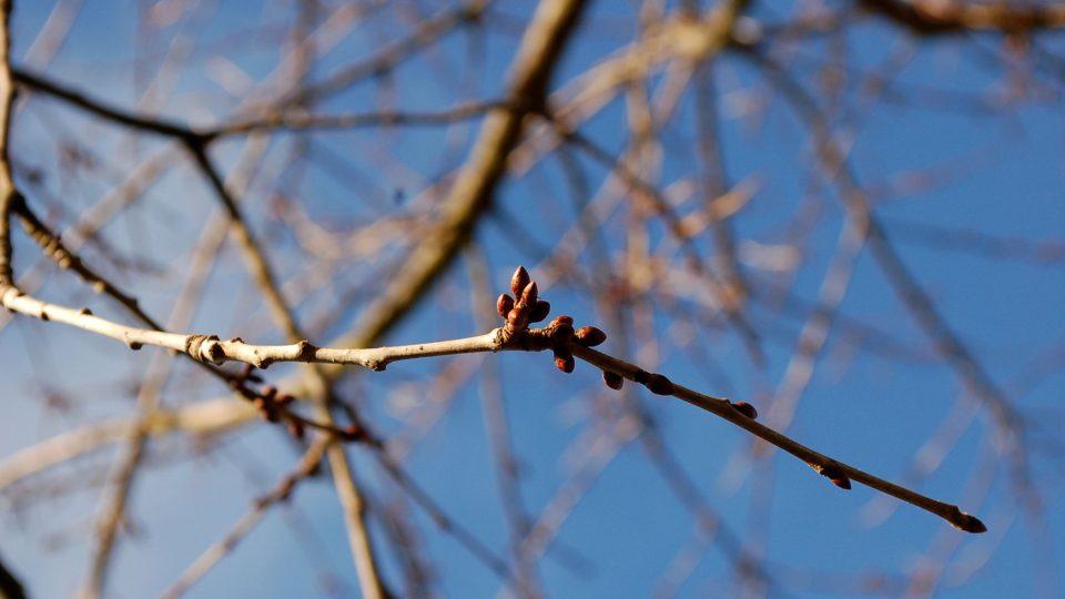 Větvička s květními pupeny, vhodná na barborku