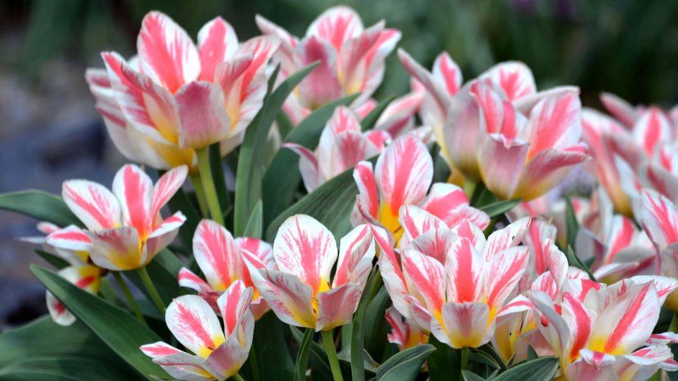 Cibule tulipánů vkládejte do země, až teplota půdy klesne pod 10 stupňů Celsia