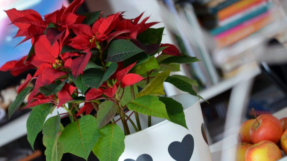Při transportu z obchodu bychom vánoční hvězdy měli držet v teplotách okolo  15 °C