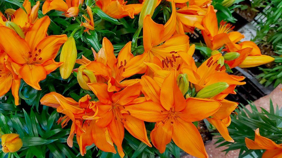 Některé lilie se sázejí na jaře, jiné na podzim