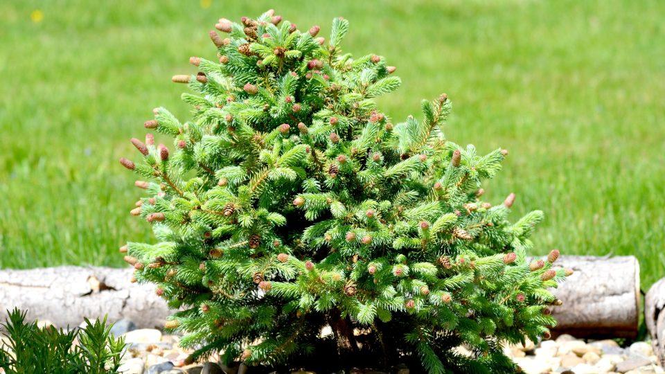 Stromek - čarověník si svůj drobný vzrůst udrží třeba po desítky let