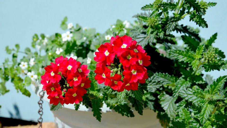 Verbeny bujně rostou a bohatě kvetou