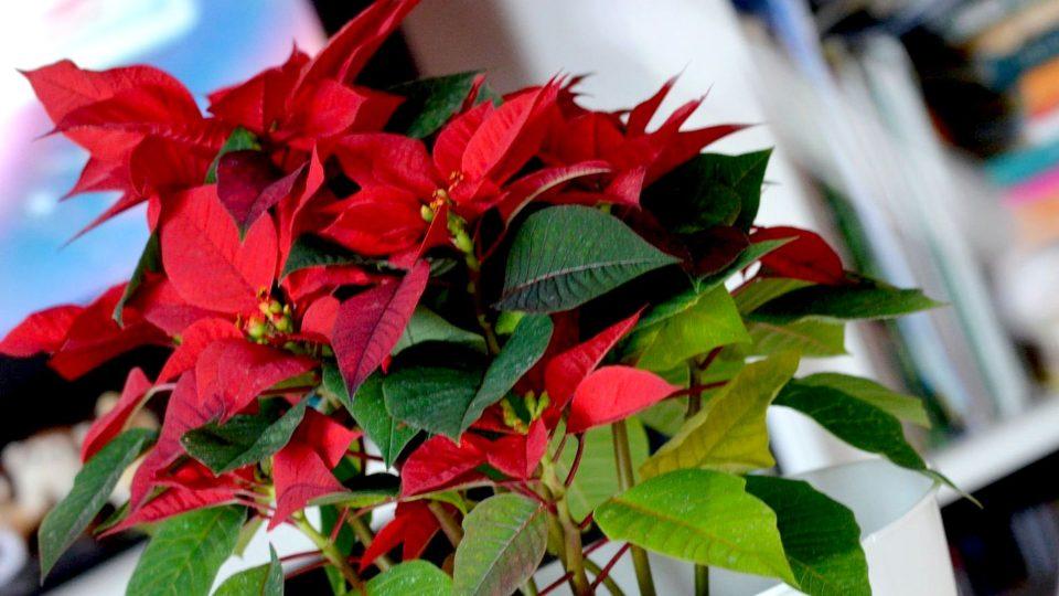Vánočním hvězdám v září uměle zkracujeme den, aby se na svátky vybarvily a rozkvetly