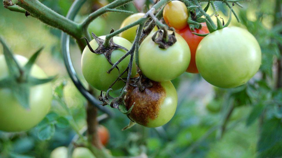 Plíseň bramborová na plodu rajčete