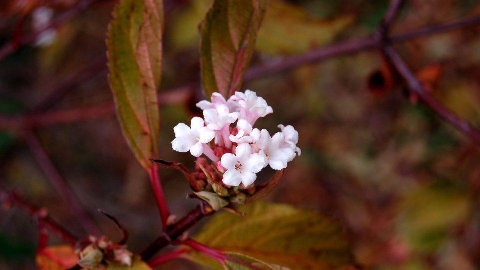 Kalina vonná (Viburnum farreri) kvete už před koncem roku a na začátku roku nového