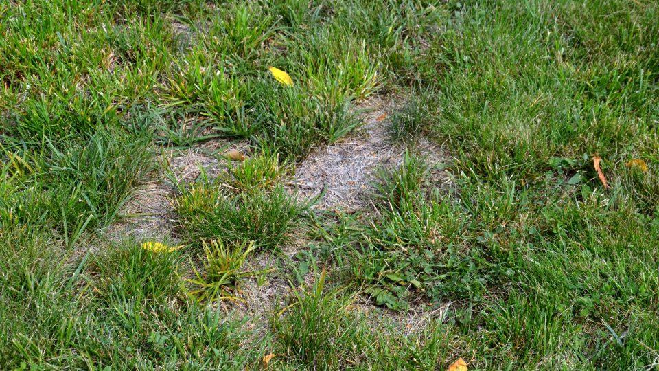 Lysiny v trávníku zkypříme a dosijeme