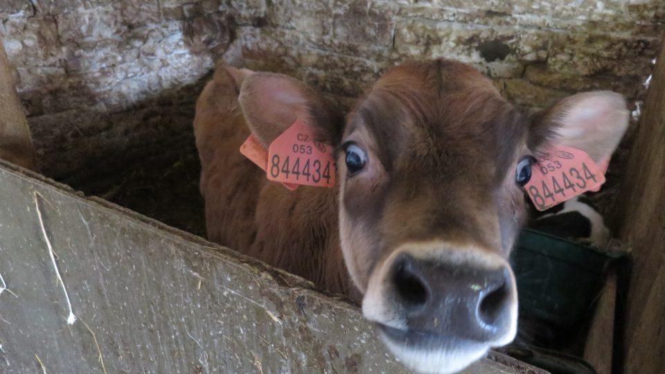Na Rodinné farmě v Luži chovají krávy plemene Jersey. Produkují mléko s vysokým obsahem tuku