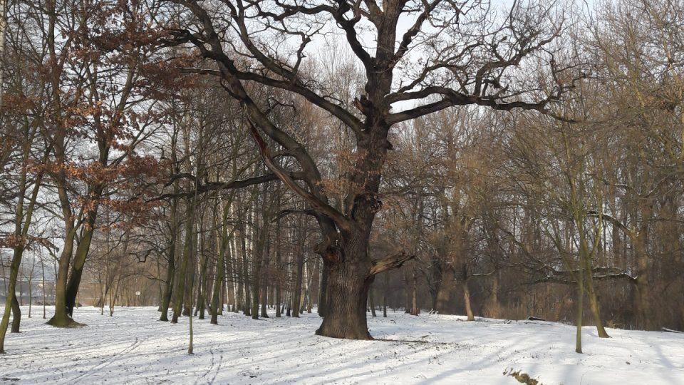 Poslední z dubů, který roste v březovém háji