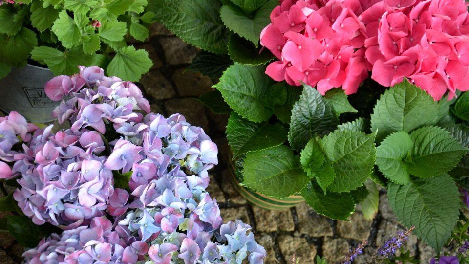 Hortenzie Forever & Ever je mrazuvzdorná, navíc kvete i na mladých výhonech