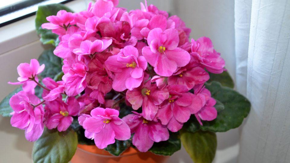 Z kvetoucích pokojovek můžeme v kuchyni zkusit pěstovat africkou fialku
