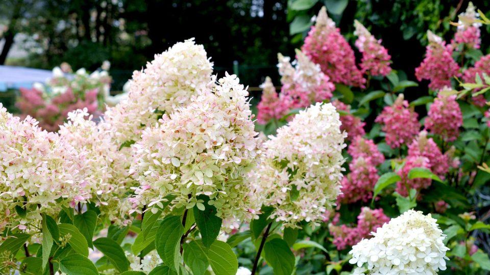 Zahrada osazená hortenziemi latnatými bere dech
