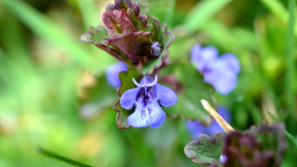 Okrouhlé vstřícné zubaté lístky, podobné břečťanu, a modrofialové květy, to je popenec břečťanolistý