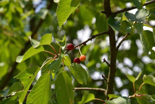 Většina stromků hlavních ovocných druhů,  vyžaduje spíše slunné stanoviště | foto: Jolana Nováková,  Český rozhlas