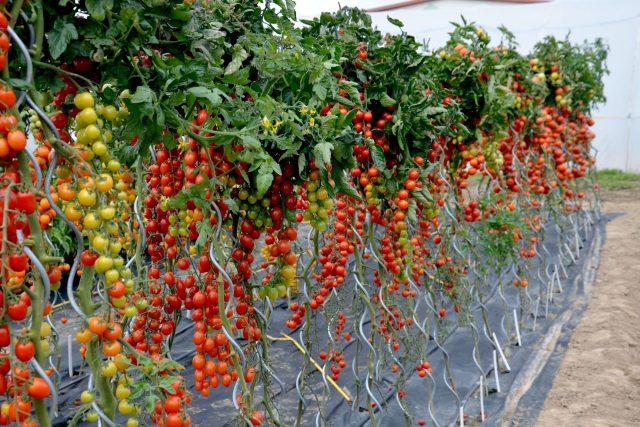 Pěstování rajčat ve velkém | foto: Jolana Nováková,  Český rozhlas