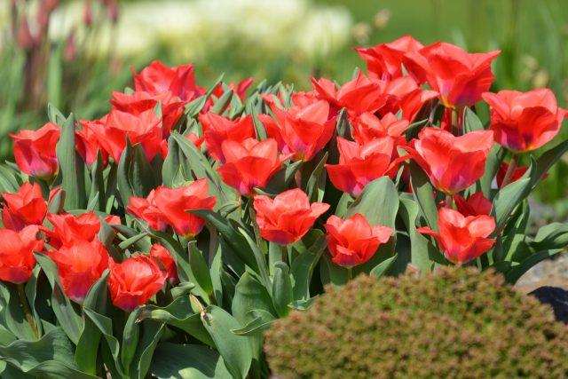 Cibule tulipánů sázíme do země koncem září nebo začátkem října