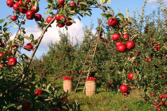 Bohatá úroda jablek  (ilustrační foto) | foto: Fotobanka Pixabay